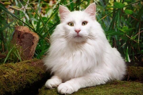 gato bosque de Noruega color blanco
