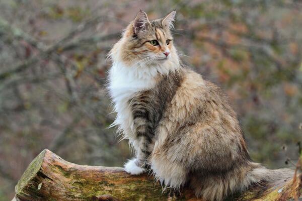 qué carácter tiene el gato bosque de Noruega