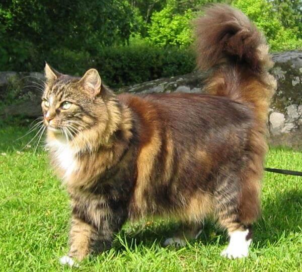 gato bosque de Noruega descripción