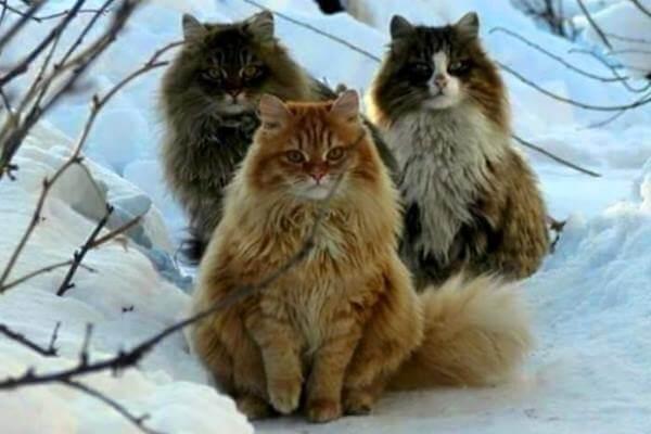 gato bosque de Noruega colores pelo