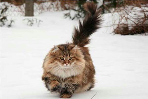 gato bosque de Noruega historia