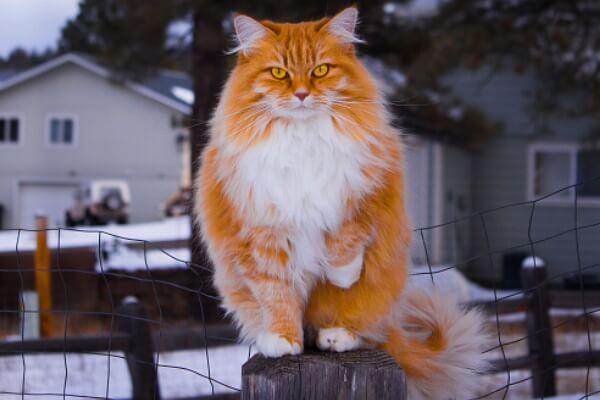 gato bosque de Noruega rojo y blanco