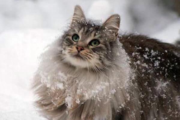 tipos de gato bosque de Noruega