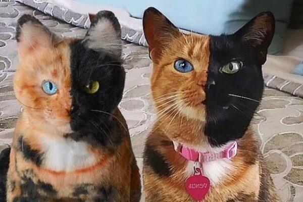 genetica razas de gatos