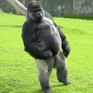 cuánto pesa el gorila