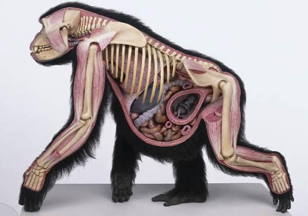 esqueleto gorila