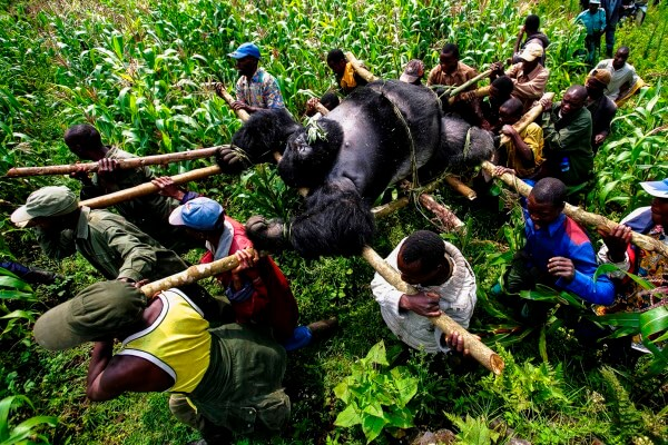 gorila de montaña en peligro de extincion