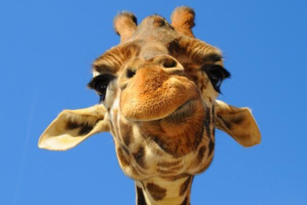 Origen de la jirafa