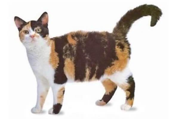 historia y origen gato american wirehair