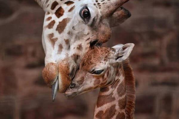 cómo se reproducen las jirafas
