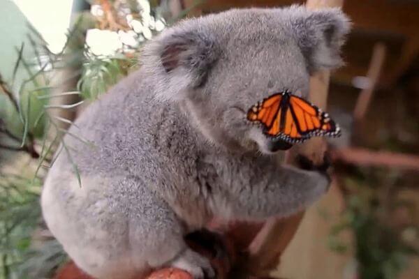 koala descripción paraniños
