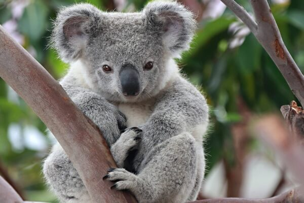 koala descripción
