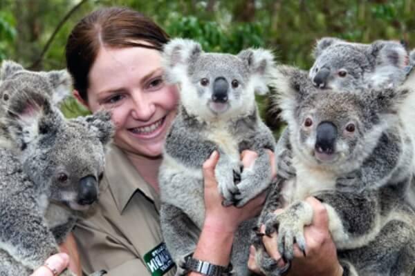 cuantos koalas quedan en el mundo