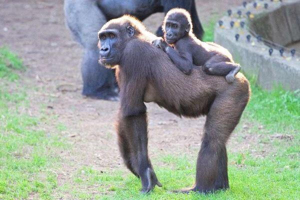 cómo crecen lo gorilas