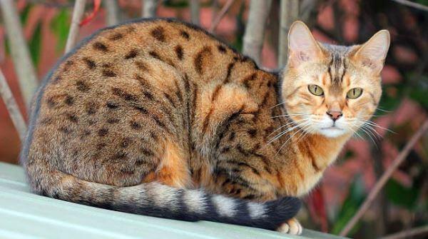 cómo cuidar gato ocicat