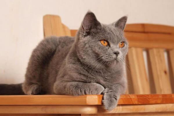 origen gato chartreux