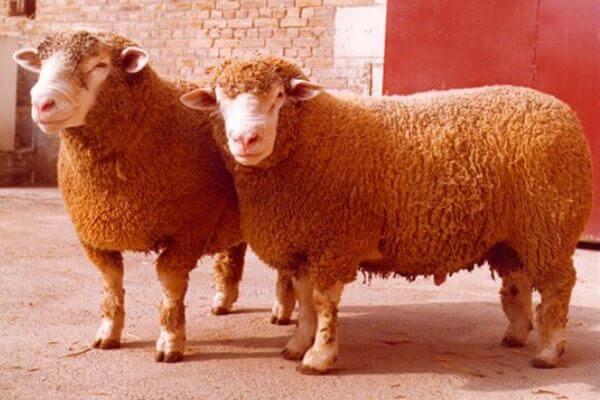 cuál es la oveja Île-de-France