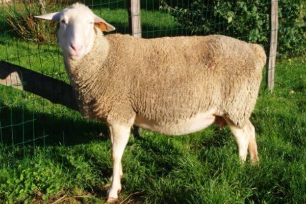 cuál es la oveja Lacaune