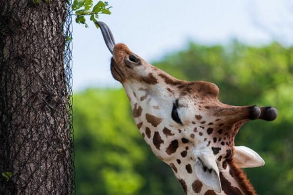 alimentación de la jirafa