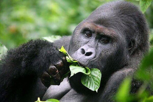dieta del gorila