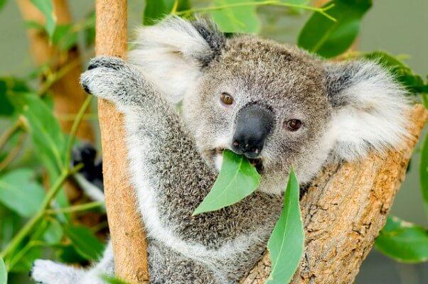 de qué se alimentan los koalas