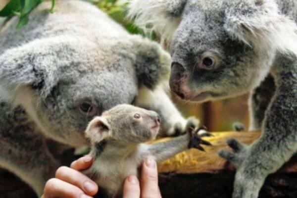 ¿Cuáles son las características del koala?