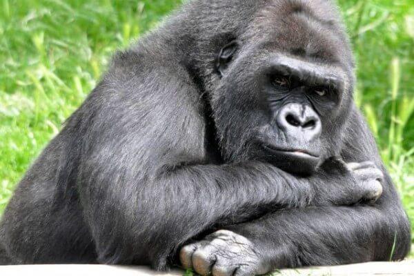 cómo es el gorila