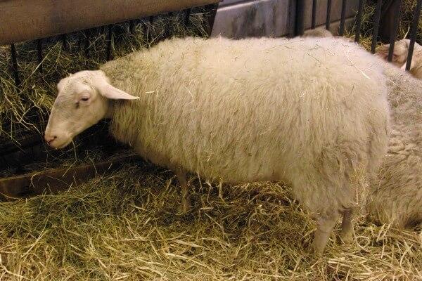tipo de oveja limousine