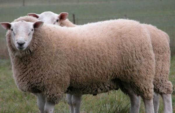 tipo de oveja texel