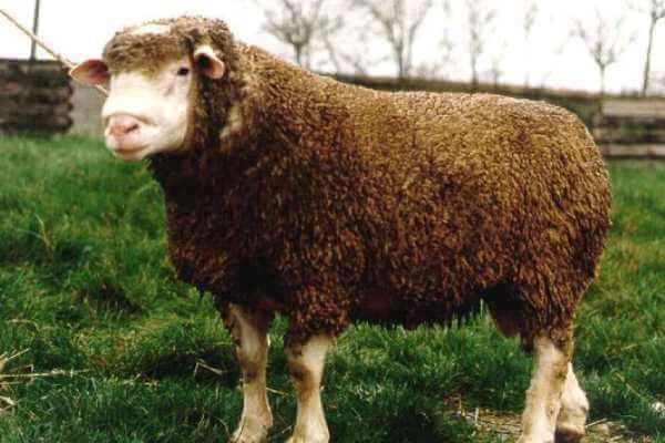 tipo de oveja Île-de-France