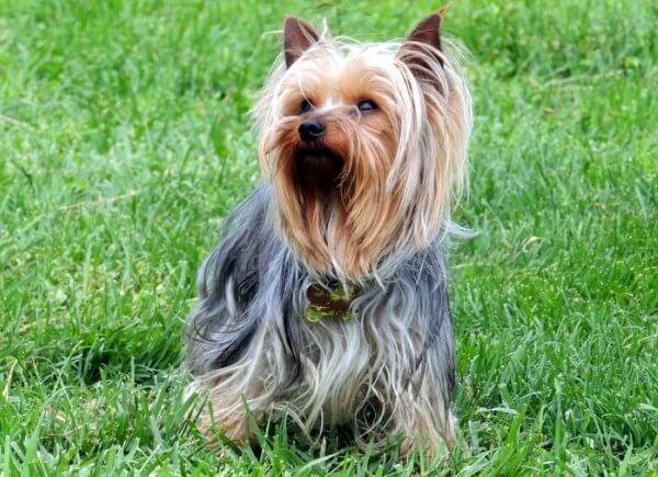 yorkshire terrier pelo largo