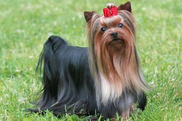 yorkshire terrier personalidad