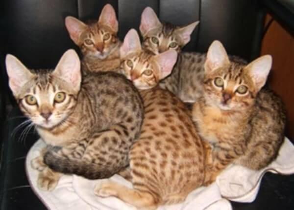 gato ocelote colroes