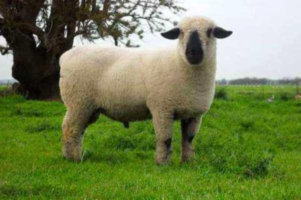 tipo de oveja Hampshire