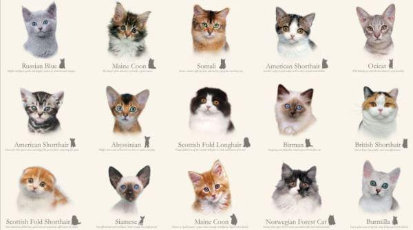 razas de gato descripción