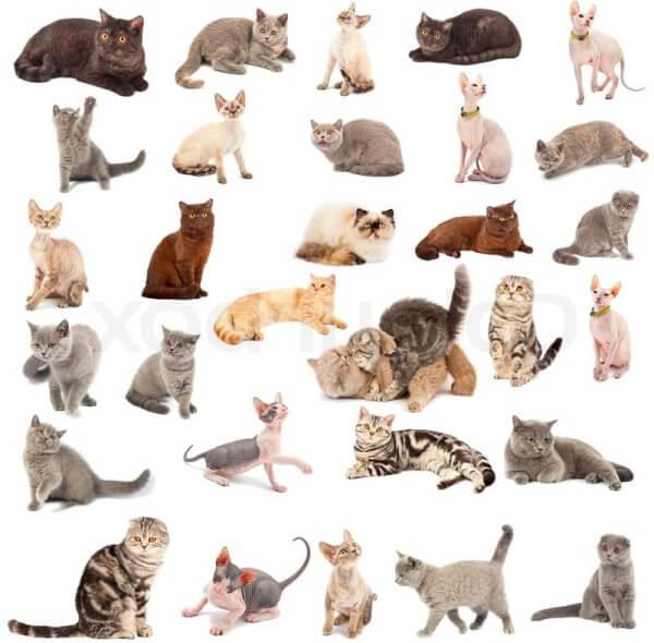 razas de gatos colores