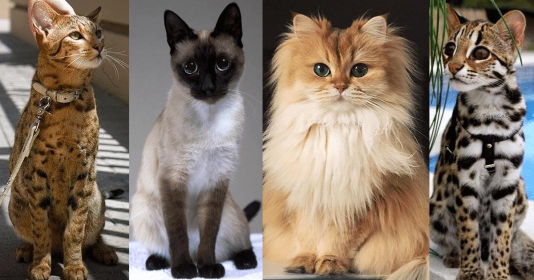 razas de gatos historia