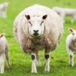 razas de ovejas