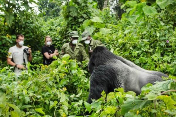 estudio sobre los gorilas