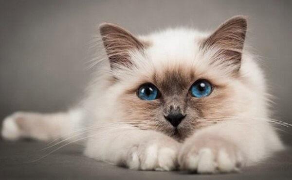cómo es el caracter del gato birmano