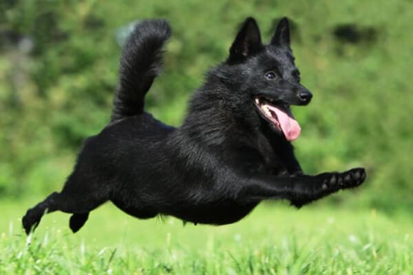 qué carácter tiene el perro schipperke