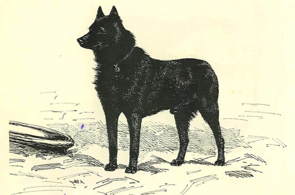 de dónde procede el perro schipperke