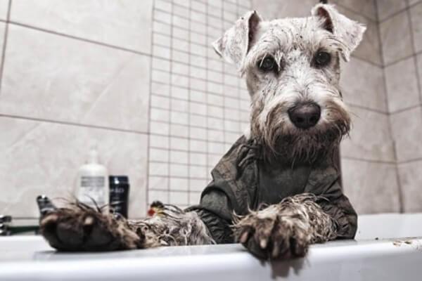 cómo bañar al schnauzer