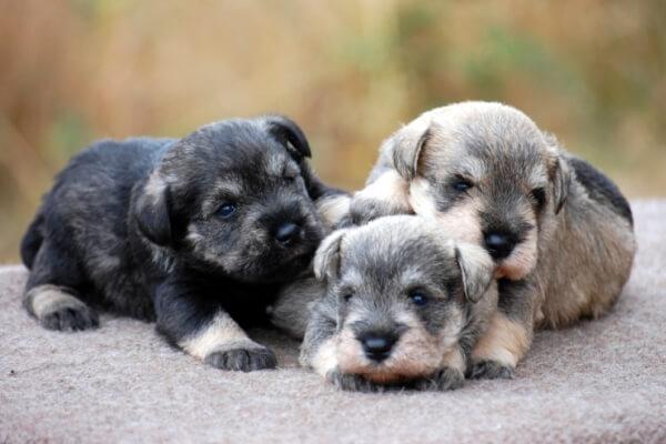 cachorro schnauzer precio