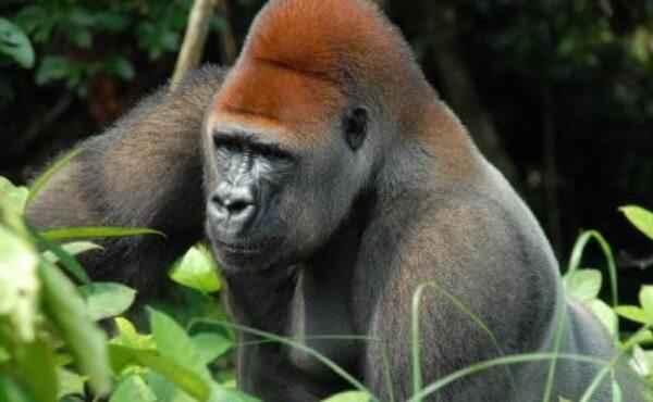 ¿Dónde se encuentra el gorila de montaña?
