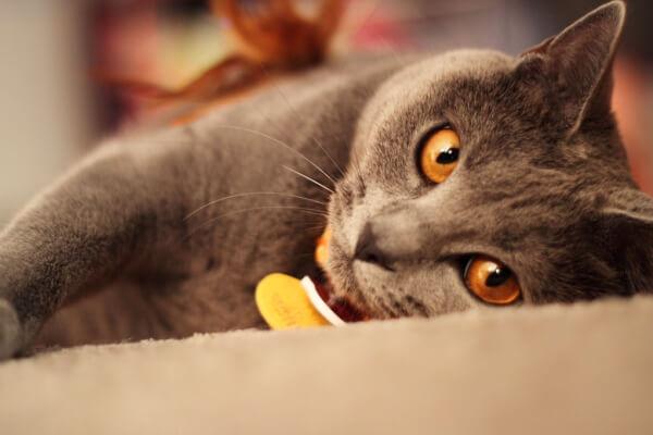 gato chartreux temperamento