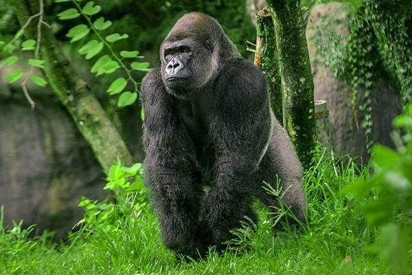 nombres de especies de gorilas