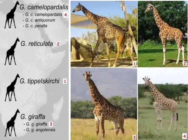 tipos de jirafas y sus caracteristicas