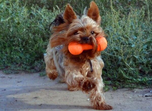 consejos adiestramiento yorkshire terrier