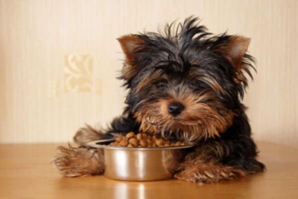cómo alimentar a un yorkshire terrier